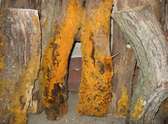 Orange Mold On Wood