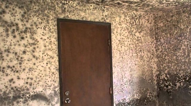 Alternaria mold characteristics risk factors and removal - What to do about mold ...