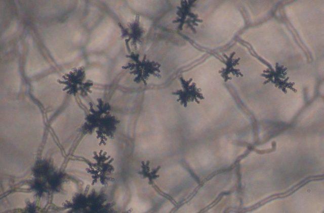 Cladosporium Mold Removal Tips
