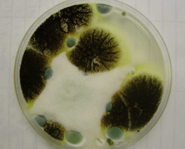 What does black mold look like in petri dish